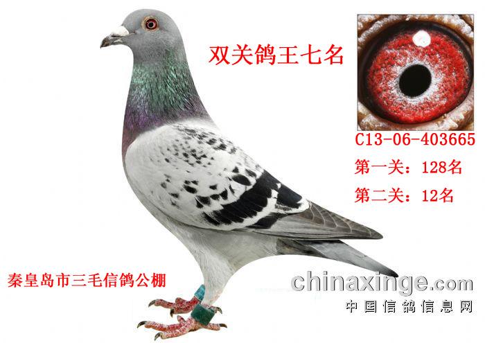 秦皇岛三毛公棚决赛12鸽王7