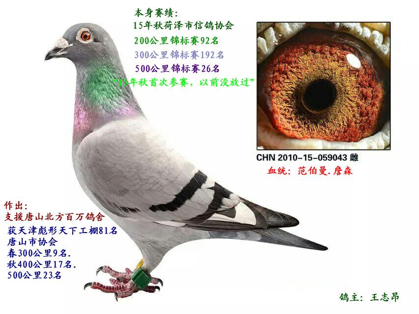 优秀种赛鸽(已售陕西)