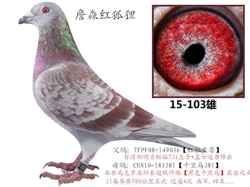 詹森铭鸽红狐731近亲作出 王牌赛鸽联盟