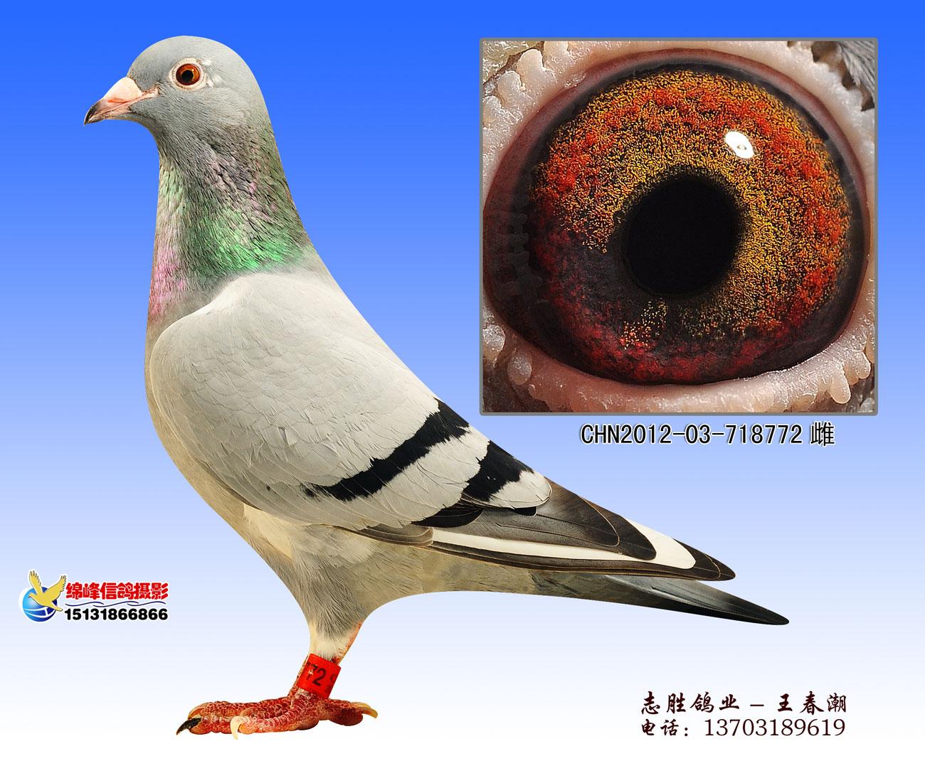 772vvcom_胡本回血种鸽772_志胜鸽业_ ag188.com爱鸽商城_中国