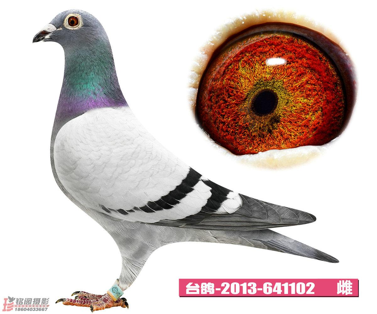 台鸽2013-641102