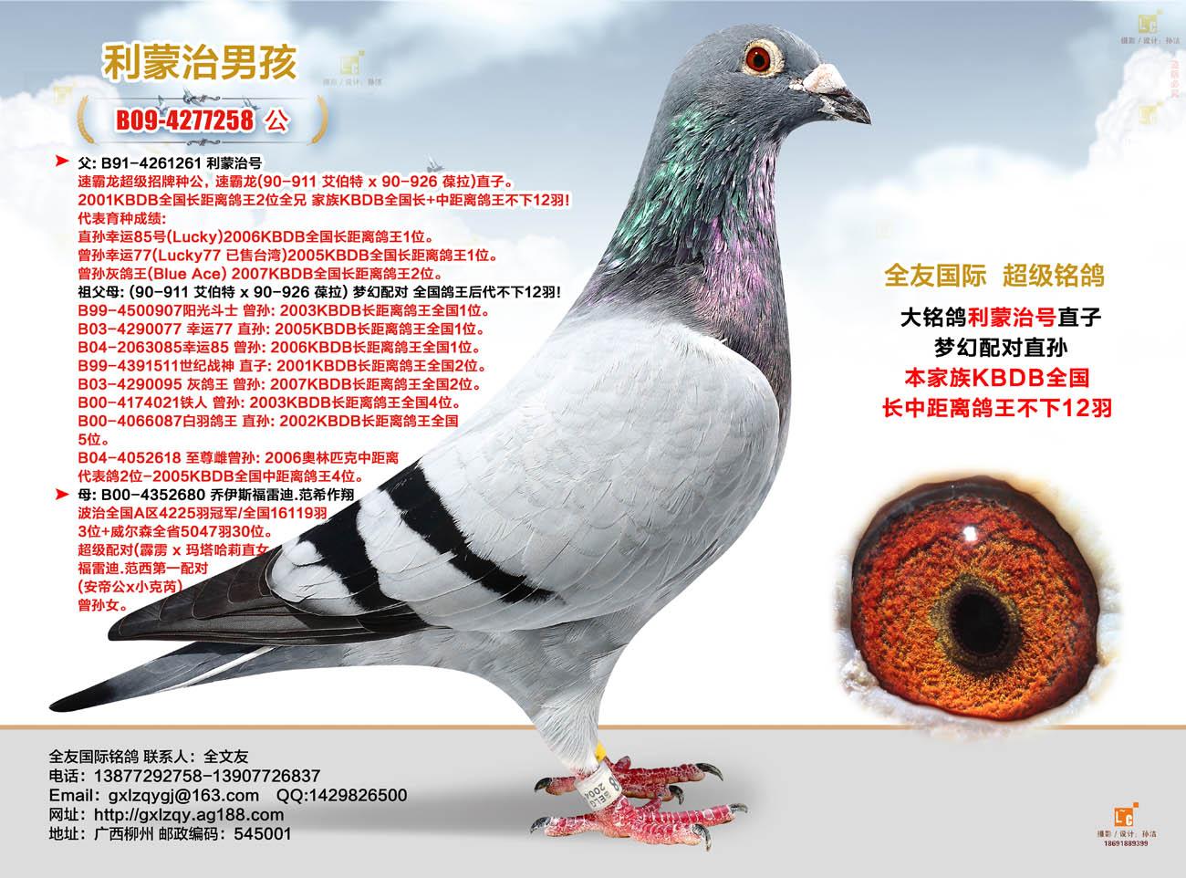 信鸽血统图片素材