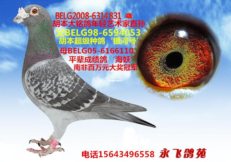 胡本原棚种鸽-年轻艺术家直孙