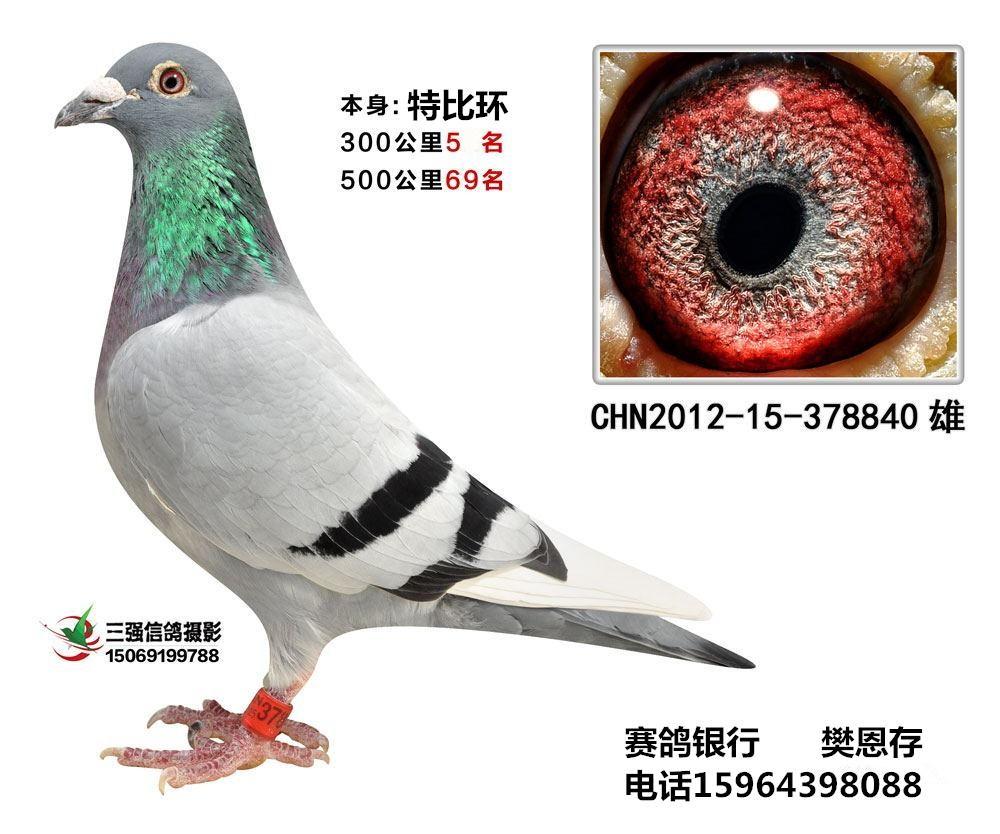 信鸽图片超级种鸽图片