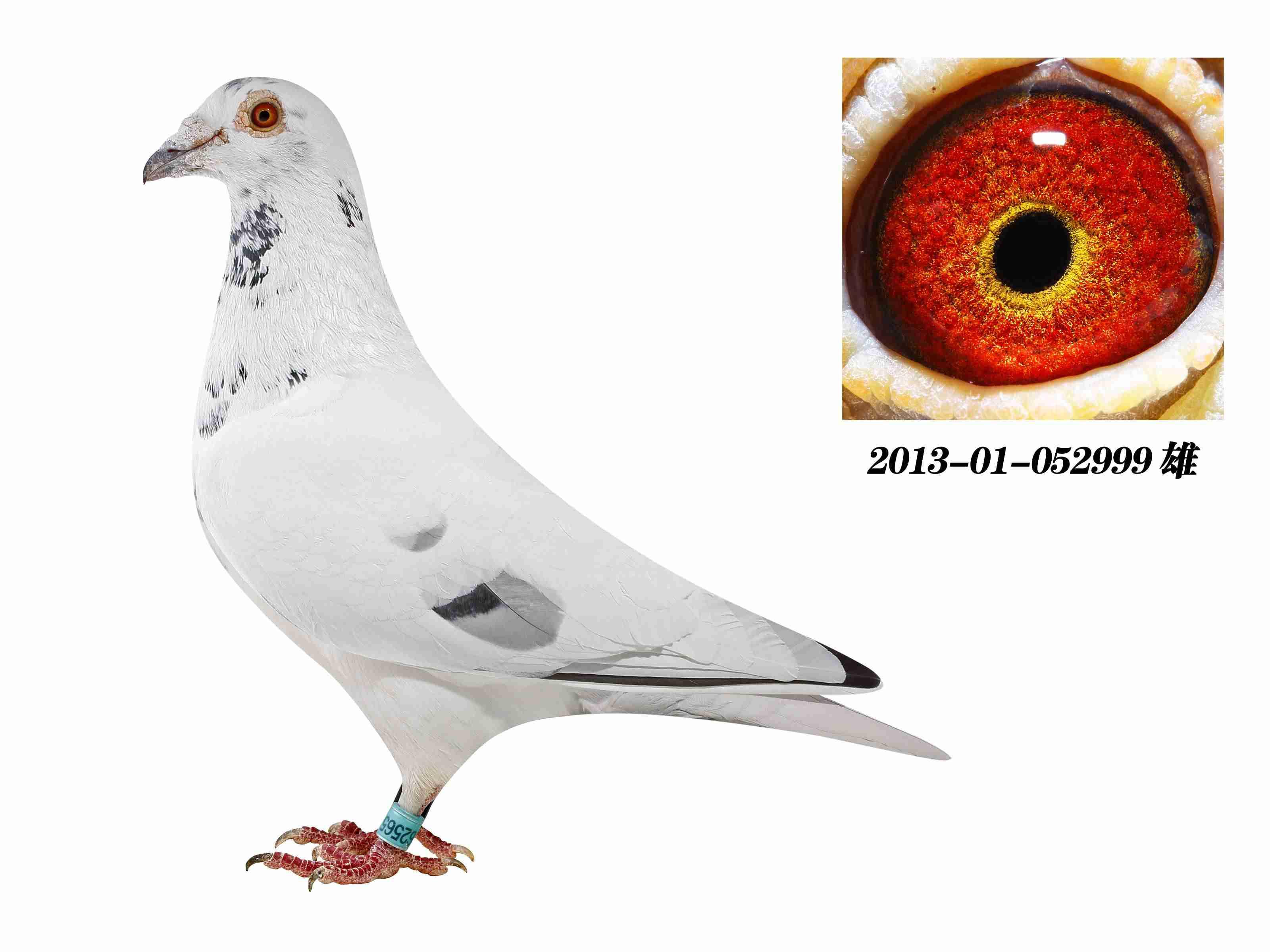 鹦鹉鸽鸟类鸟鸽子3200_2400小的东西不会吃动物图片