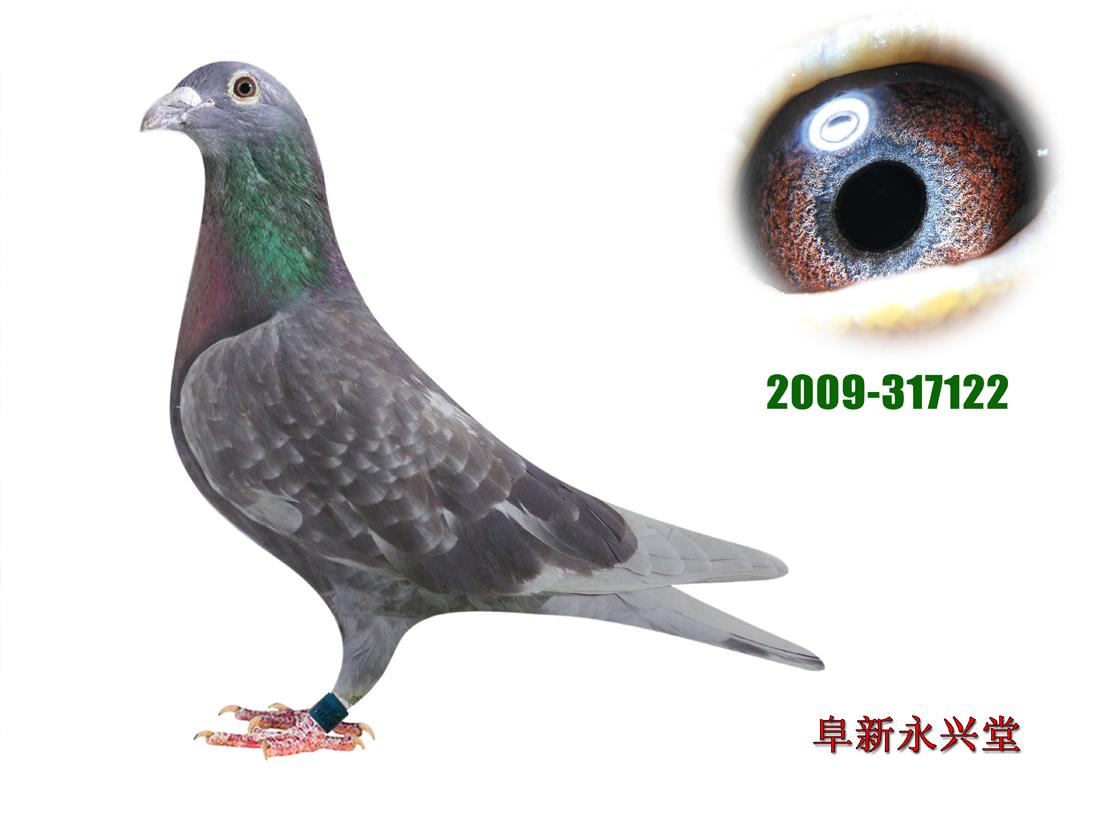 鸽 名: 詹森红狐122                羽 色: 绛                眼图片