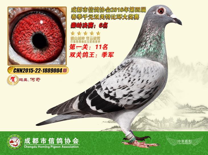 2016春双关千元特比鸽王季军