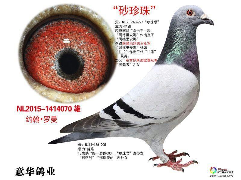 砂珍珠_意华鸽业_ ag188.com爱鸽商城_中国信鸽信息网图片