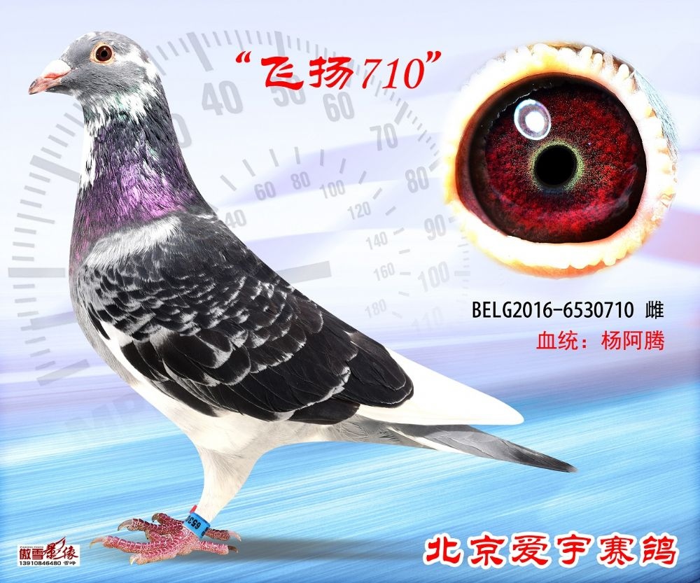 1、BELG2016-6530710-雌副本 (1)