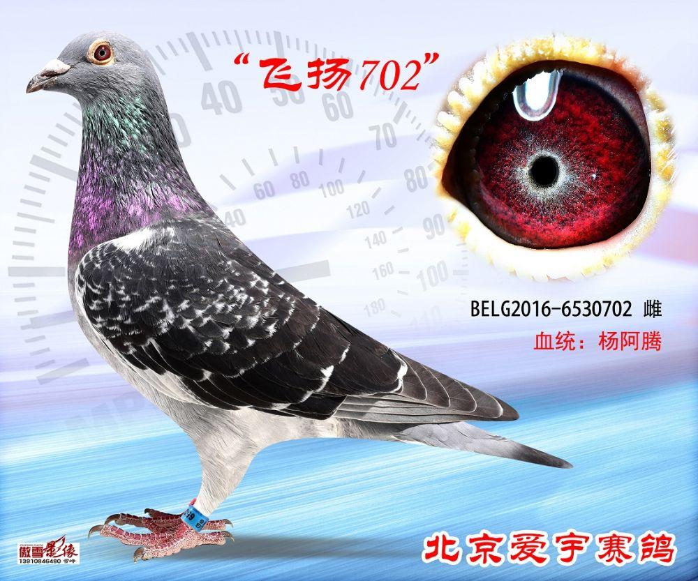 2、BELG2016-6530702-雌副本 (1)