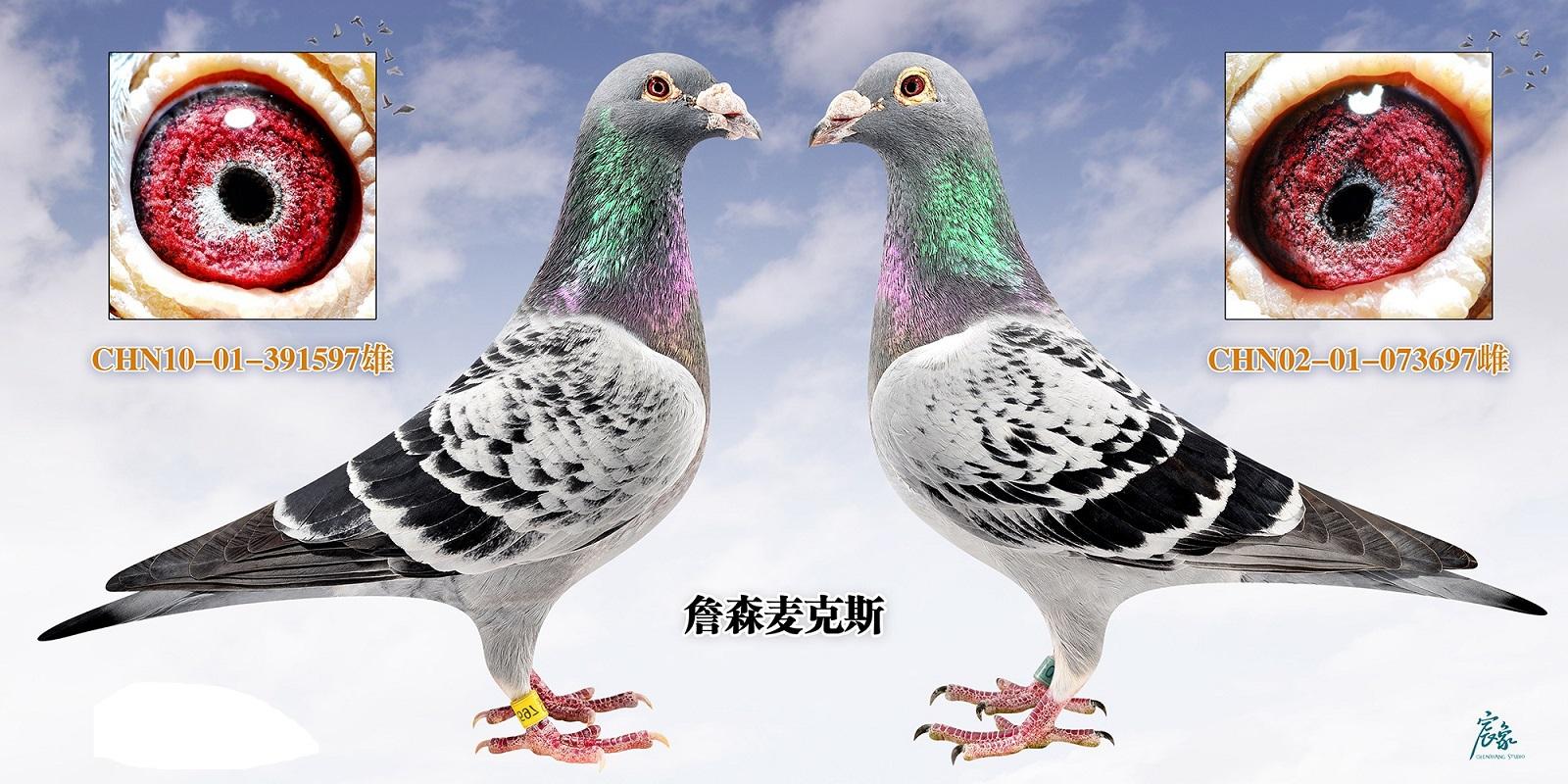 019詹森鸽子图片
