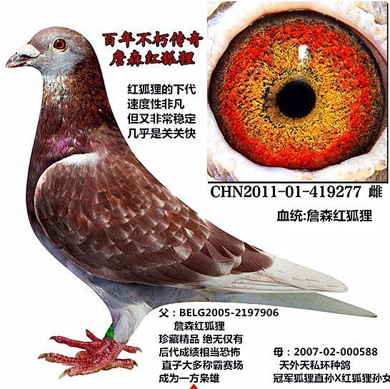 红狐狸277 众友信鸽传媒图片