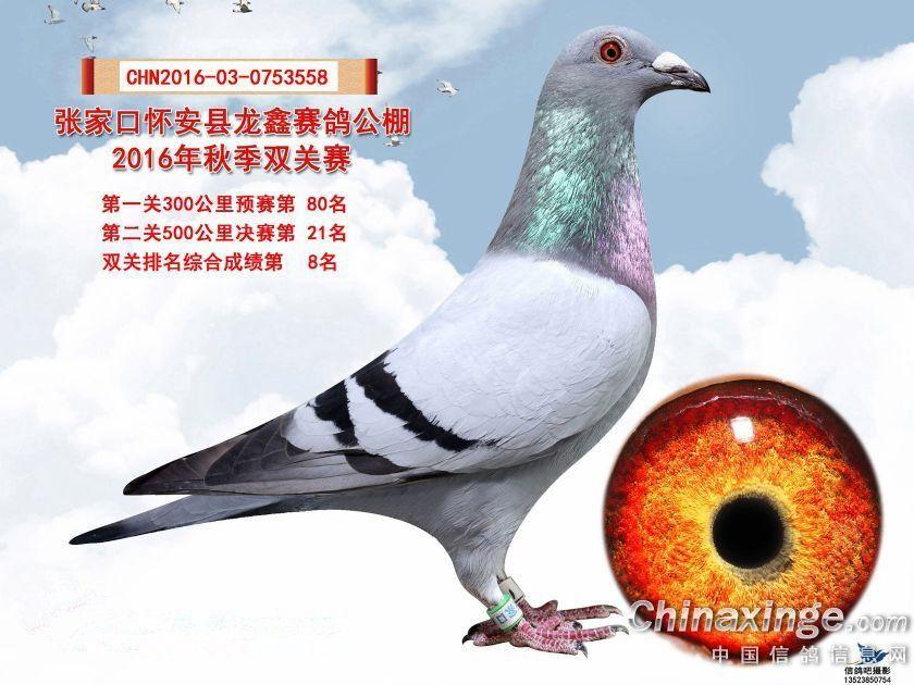 """龙鑫公棚21名""""双关鸽王8名"""""""