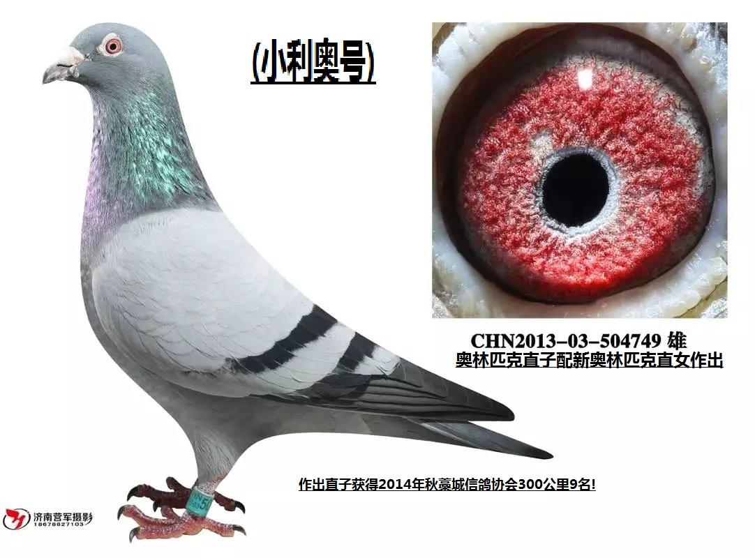 小利奥号_河北风云闪电鸽舍_ ag188.com爱鸽商城_中国 ...