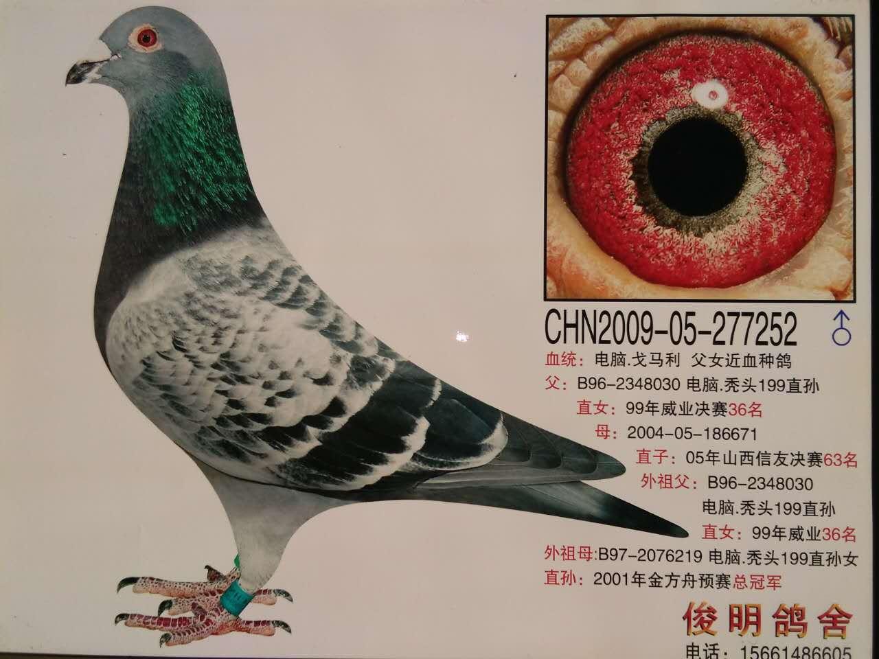 信鸽图片鸽王种鸽图片