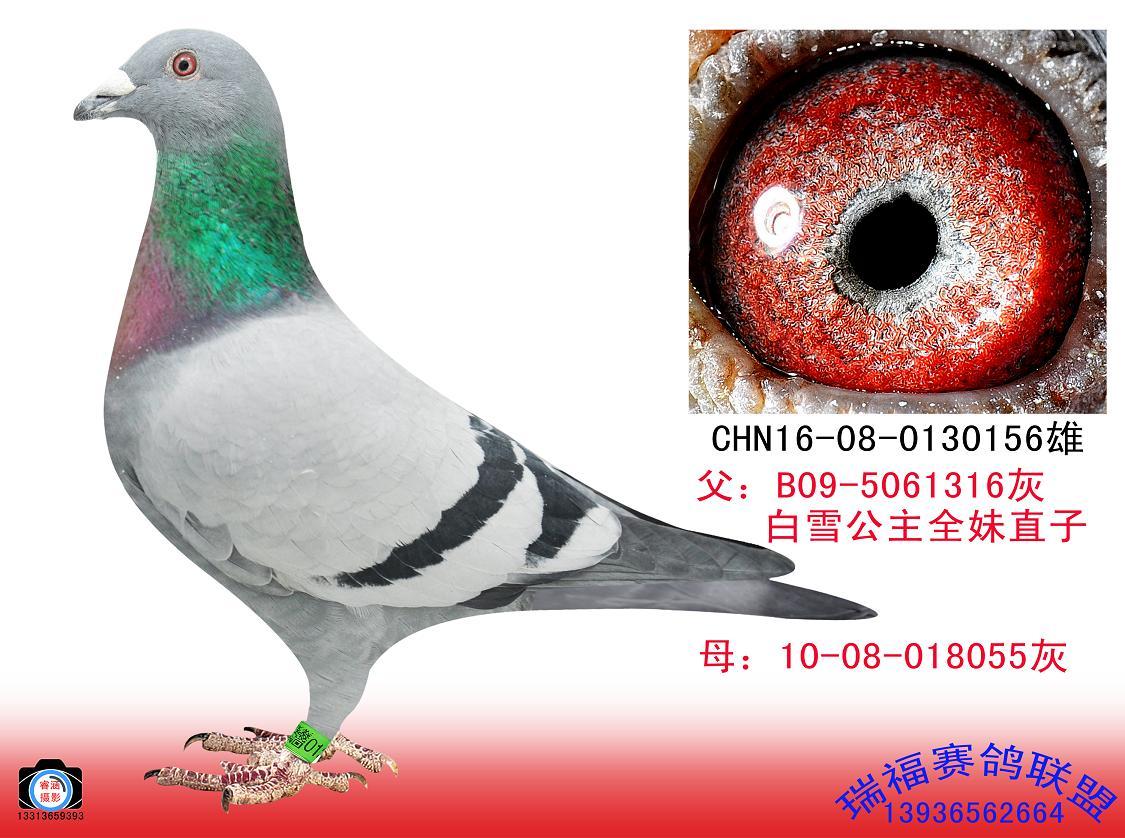 乔斯托内夺得比利时图勒总冠军(图)-信鸽资讯-中国信鸽信息网