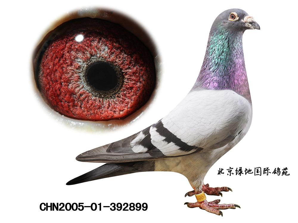 詹森019超级种赛鸽