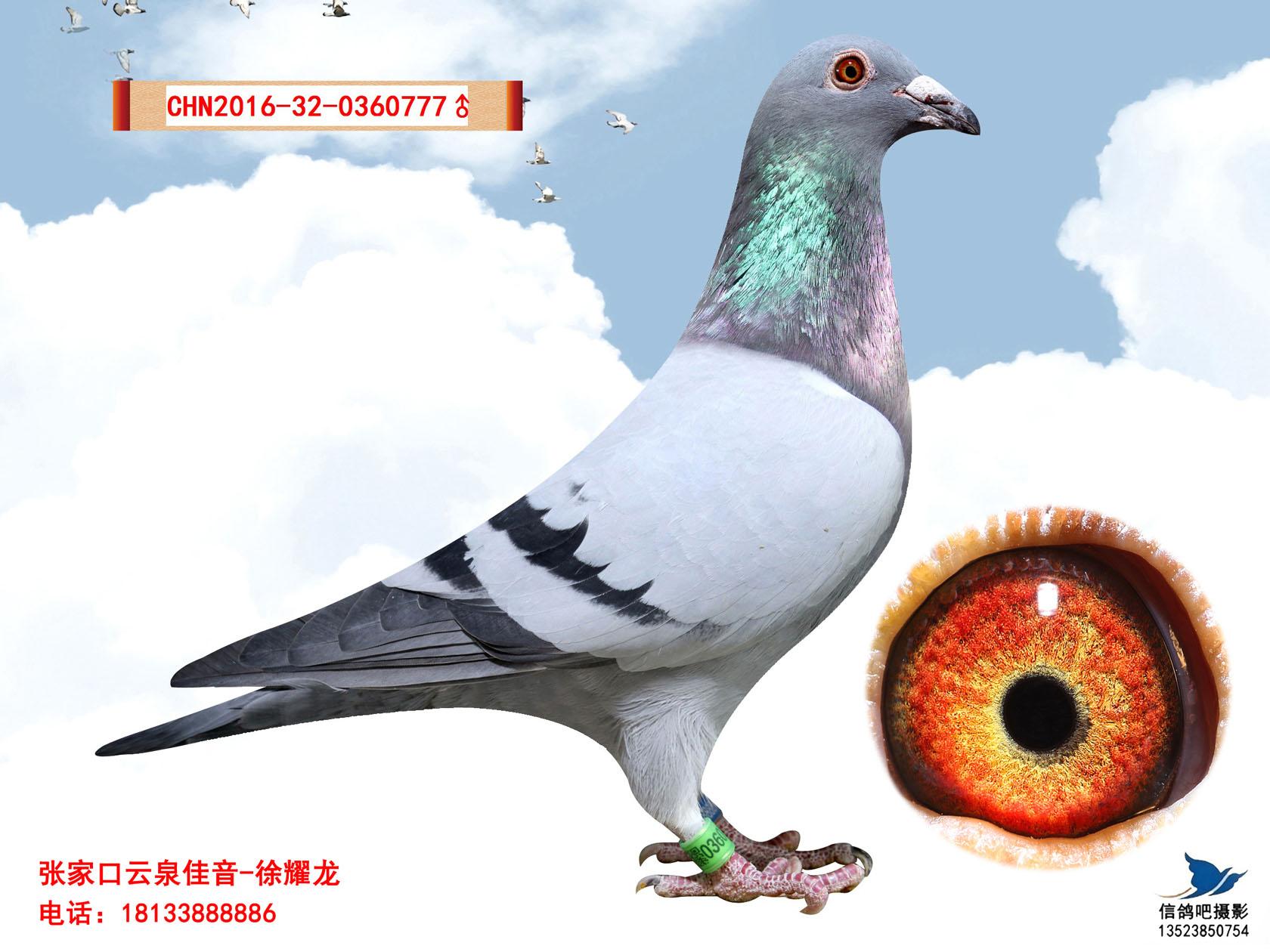詹森919_云泉鸽舍-中信网爱鸽商城