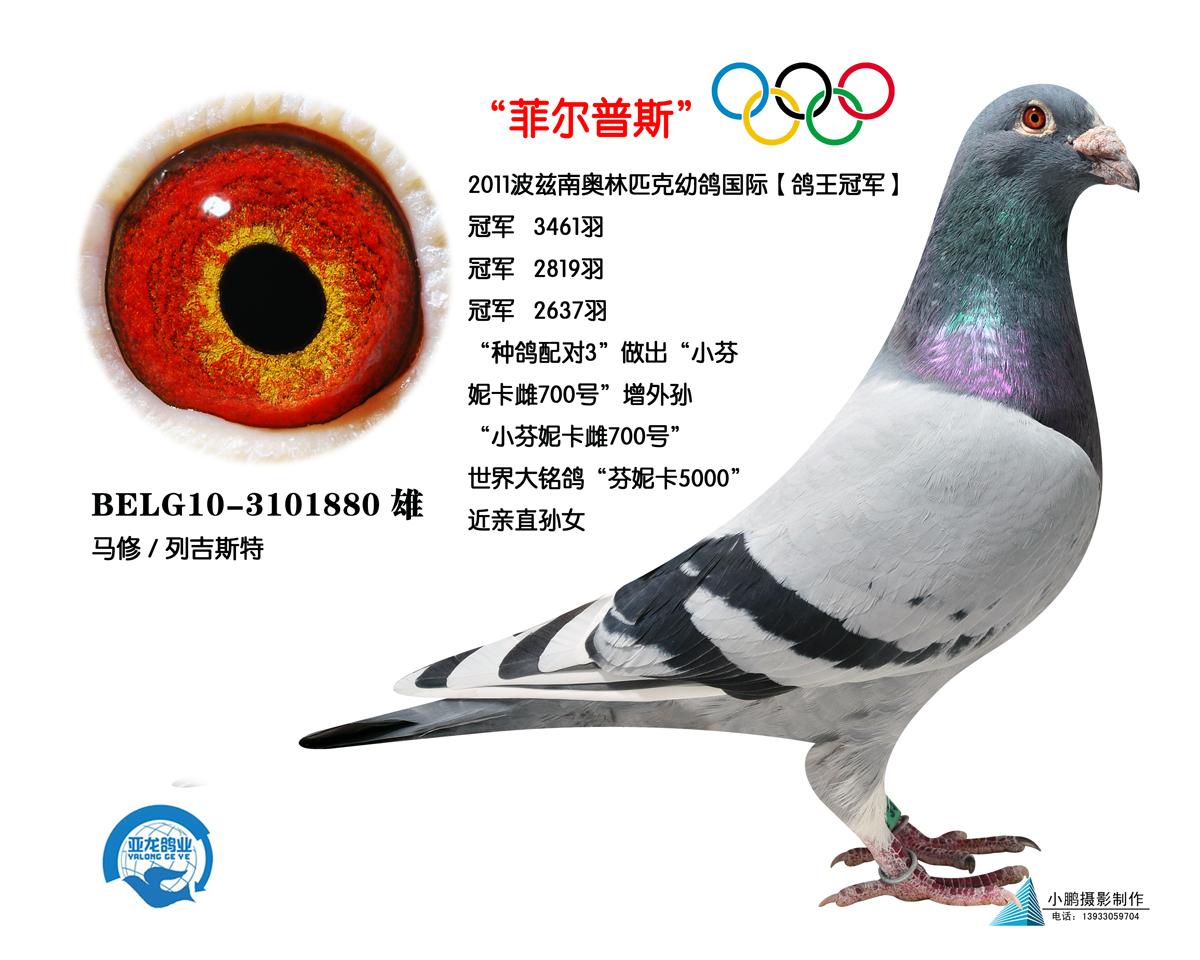 """奥林匹克幼鸽国际【鸽王冠军】""""菲尔普斯"""""""