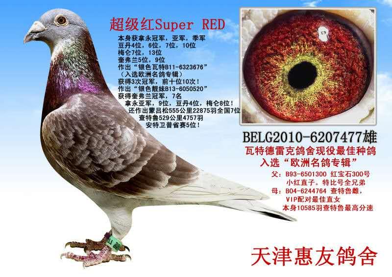 瓦特鸽舍第一种雄超级红Super Red