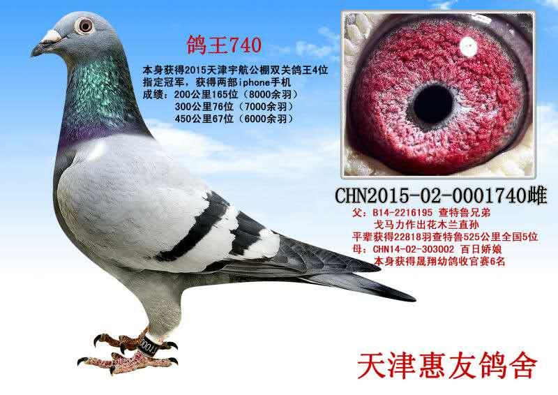 鸽王740