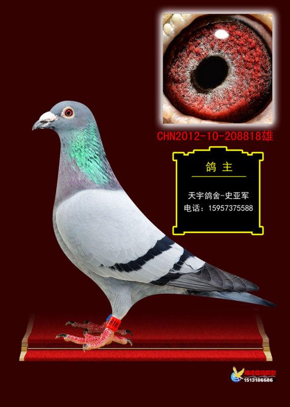 黄金种公 浙江嘉兴天宇鸽业图片