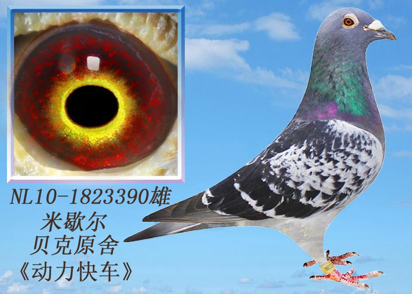 杨阿腾 环羽信鸽联盟