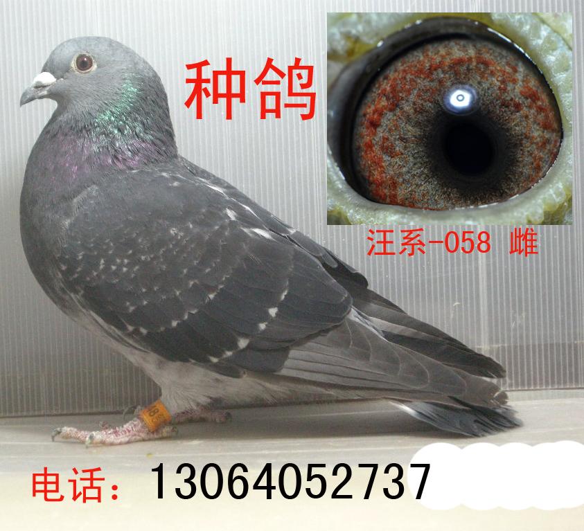 汪系(吴淞、老桃花)已售四川内江