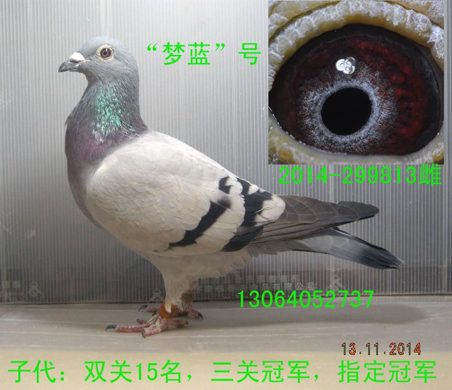 紫罗兰公棚三关鸽王冠军母亲