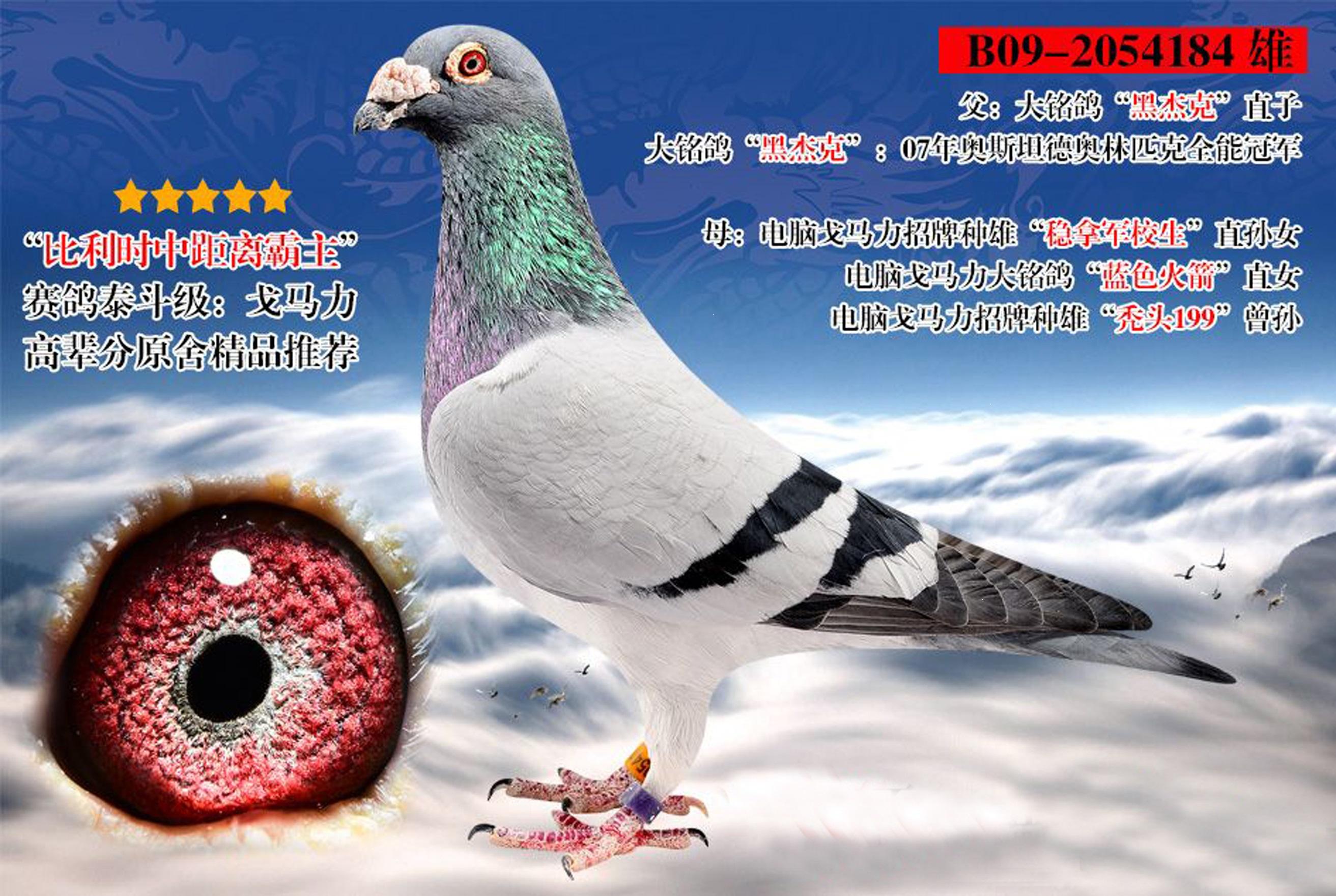 """戈马力""""黑杰克""""184-美国金字塔联合鸽舍-中信网爱鸽"""