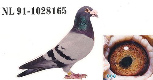 相关图片 信鸽特征                  编 号: 531839
