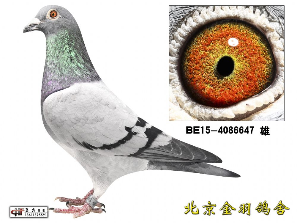 52 BE15-4086647 雄