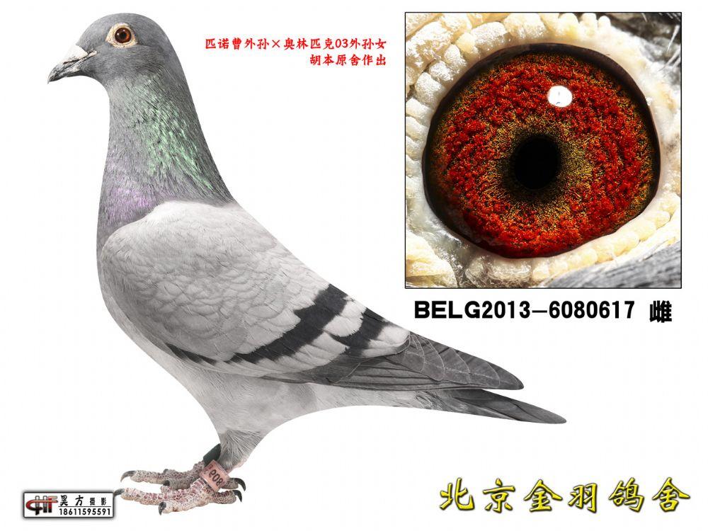 99 BELG2013-6080617 雌