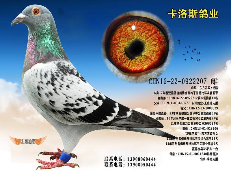 成都双流信鸽协会17年秦岭千元特比亚军