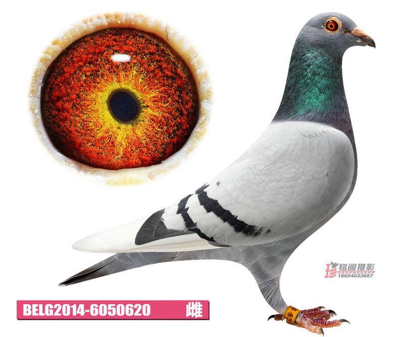 BELG2014-6050620