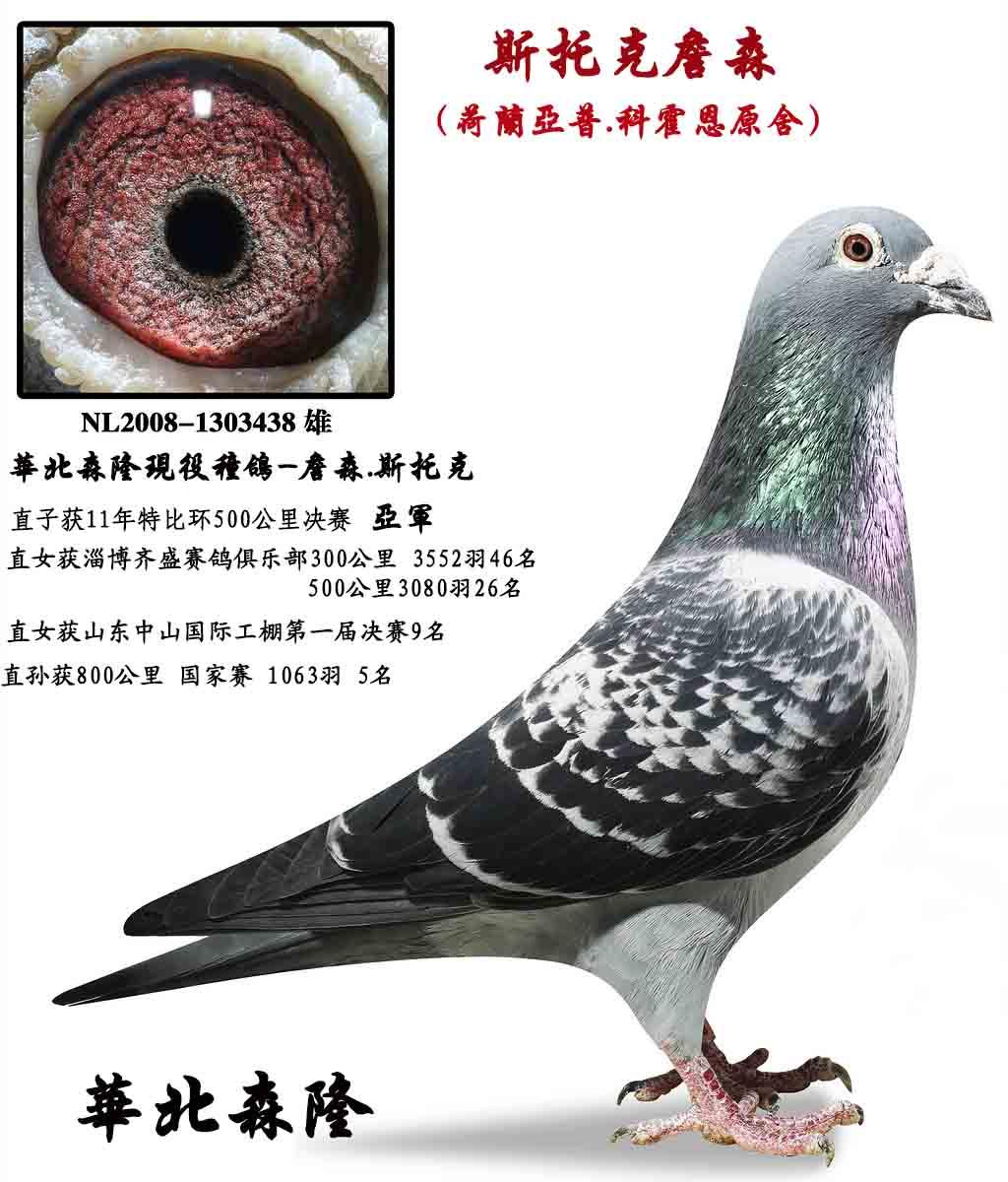 詹森_华北森隆_ag188.com爱鸽商城_中国信鸽图片