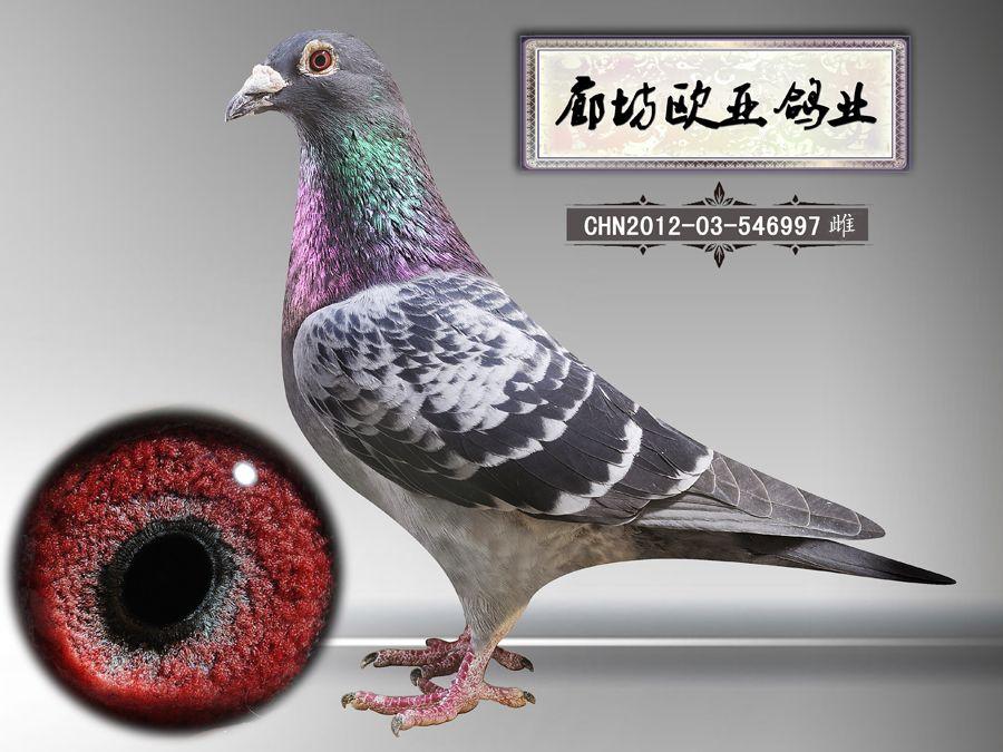 贝克詹森_廊坊欧亚鸽业_ ag188.com爱鸽商城_中国信鸽图片