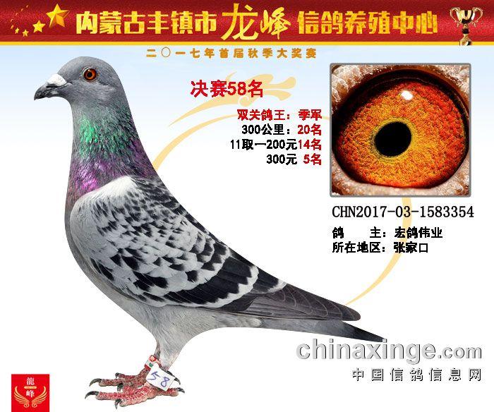 龙峰公棚鸽王季军