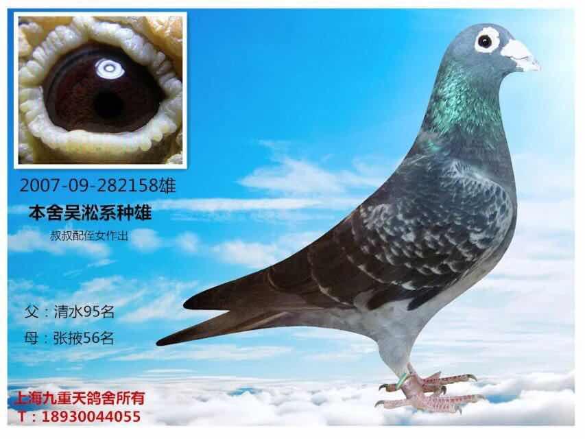 吴淞黑眼睛_上海九重天_ag188.com爱鸽商城_中国信鸽