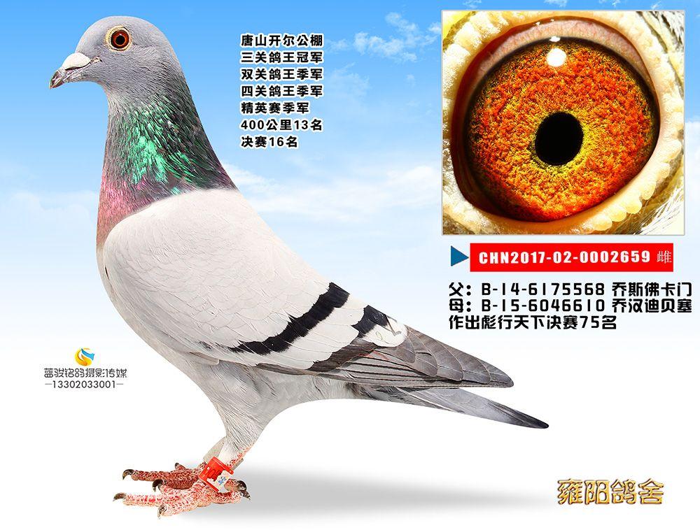 雍阳鸽舍-唐山开尔公棚三关鸽王冠军
