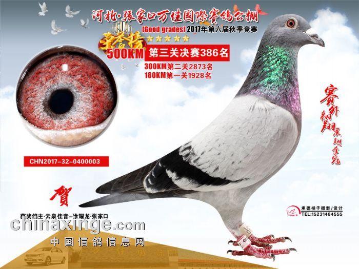 名: 詹森919                羽 色: 灰                眼 砂: 砂眼