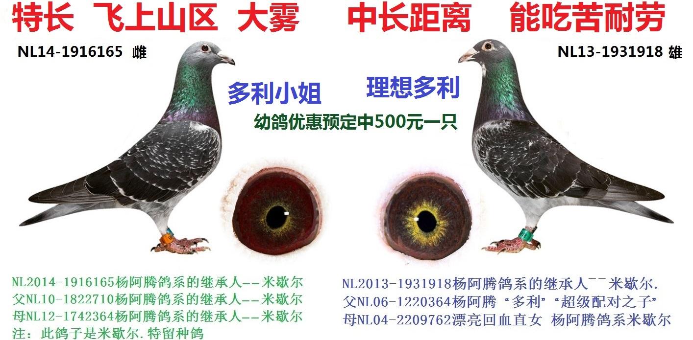 杨阿腾鸽系