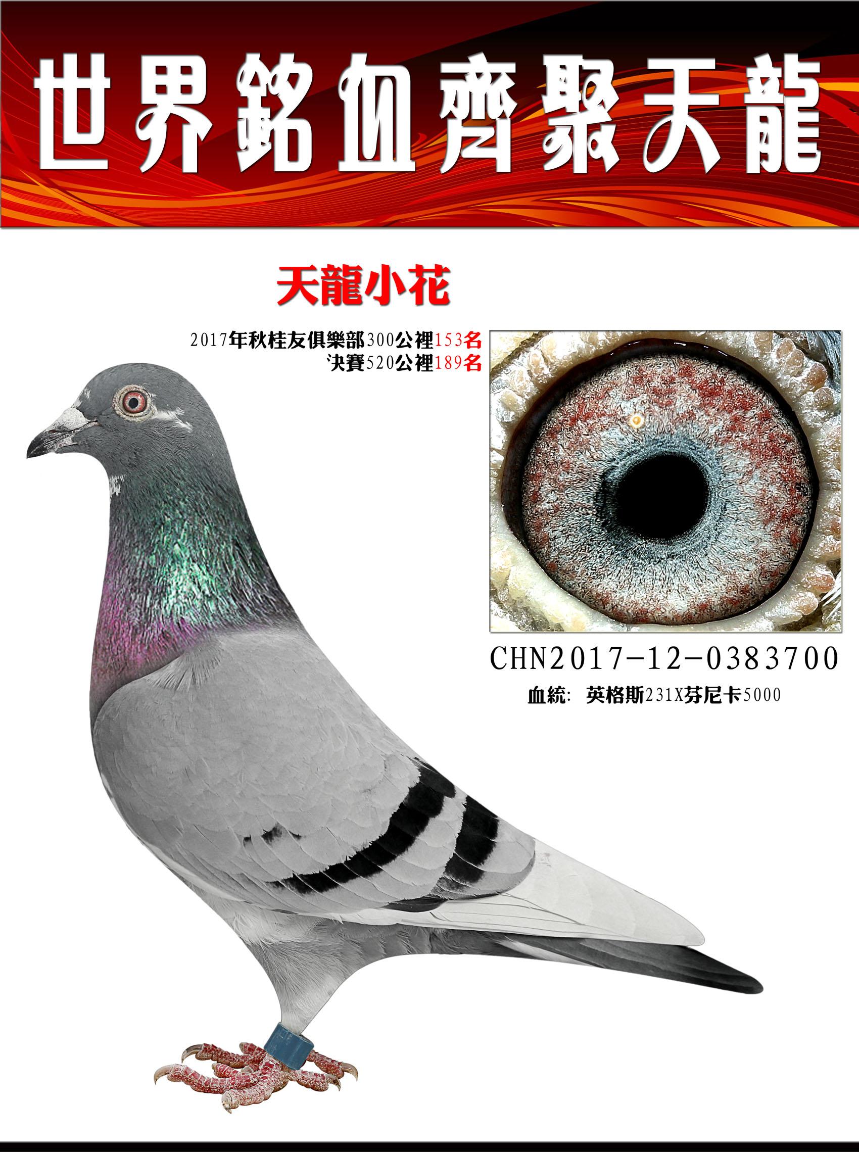 英鸽斯231/绝版高代精华