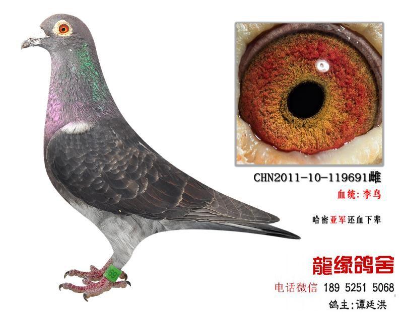超远程老国血李鸟精品种鸽3