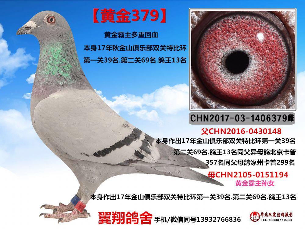 金山鸽王13_副本