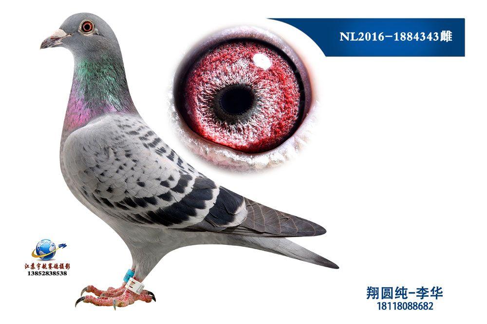 NL2016-1884343雌