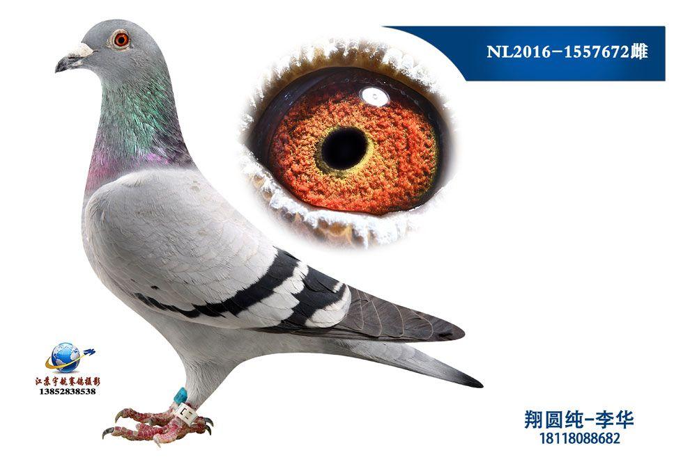 NL2016-1557672雌