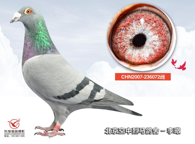 鸽 名: 詹森072                羽 色: 灰                眼图片