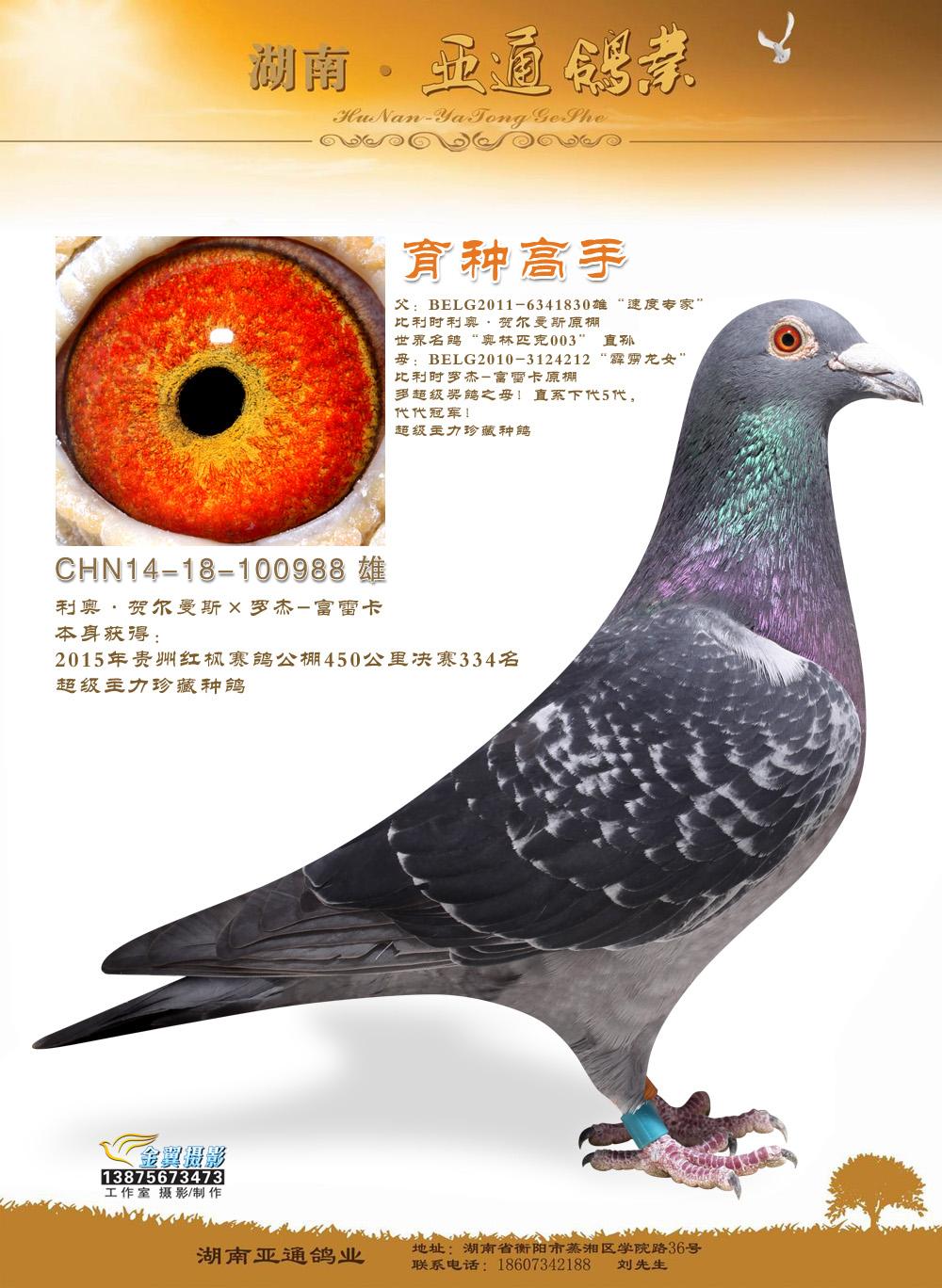 2015年贵州红枫赛鸽公棚决赛334名