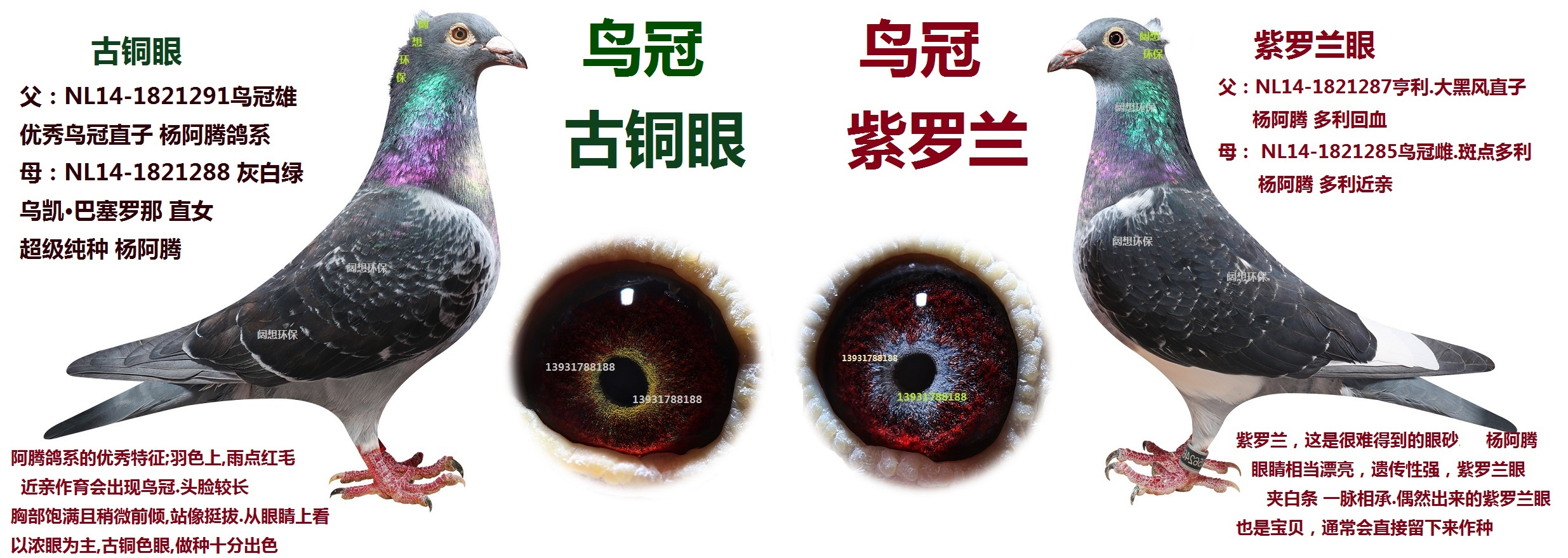 杨阿腾?紫罗兰眼.古铜眼